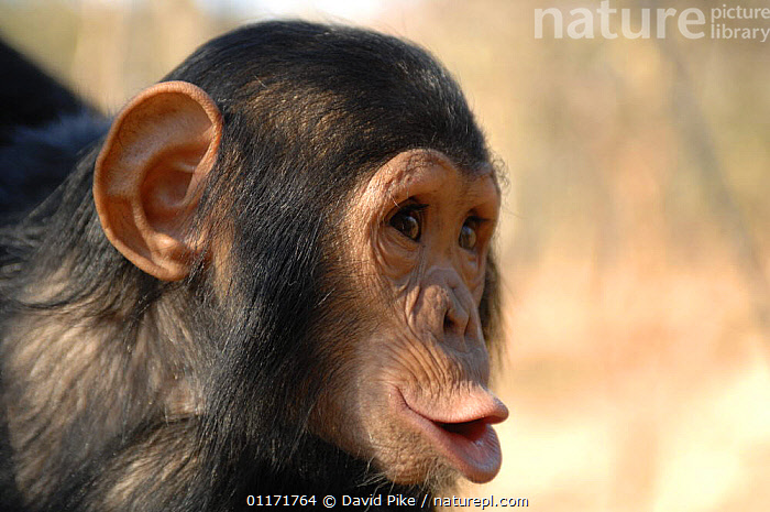 Chimpanzee {Pan troglodytes} juvenile vocalising, captive, Chimfunshi wildlife orphanage, Zambia Not available for ringtone/wallpaper use.  ,  BEHAVIOUR,CHIMP ,GREAT APES,MAMMALS,MOUTHS,PORTRAITS,PRIMATES,REHABILITATION,RESERVE,SOUTHERN AFRICA,VERTEBRATES,VOCALISATION,ZAMBIA,RINGTONE  ,  David Pike
