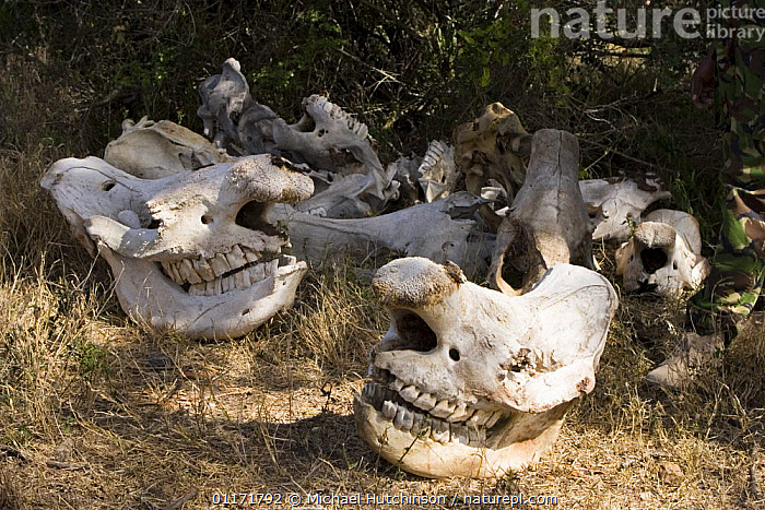 Pile of White rhinoceros (Ceratotherium simum) and Black rhinoceros (Diceros bicornis) skulls from poached rhinos collected by rangers on a private reserve to avoid re-counting poached carcasses more than once. The carcasses are all from 2002-2004. Kenya  ,  BONES,EAST AFRICA,KENYA,MAMMALS,PERISSODACTYLA,POACHING,RHINO,RHINOCEROSES,SKELETON,SKULLS,TEETH,VERTEBRATES,Africa , rhino, rhinos, rhinoceros, , rhino, rhinoceros, rhinos,  ,  Michael Hutchinson