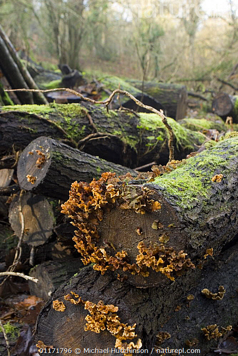 Hairy Stereum fungus (Stereum hirsutum) growing on wood pile, logs left to rot to encourage insects and fungi in woodland managed for wildlife, North Somerset, UK  ,  CONSERVATION,DECOMPOSITION,EUROPE,FUNGI,HABITAT,MANAGEMENT,MOSS,SOMERSET,TREES,UK,VERTICAL,WOOD,WOODLANDS,United Kingdom,Plants,British,ENGLAND  ,  Michael Hutchinson