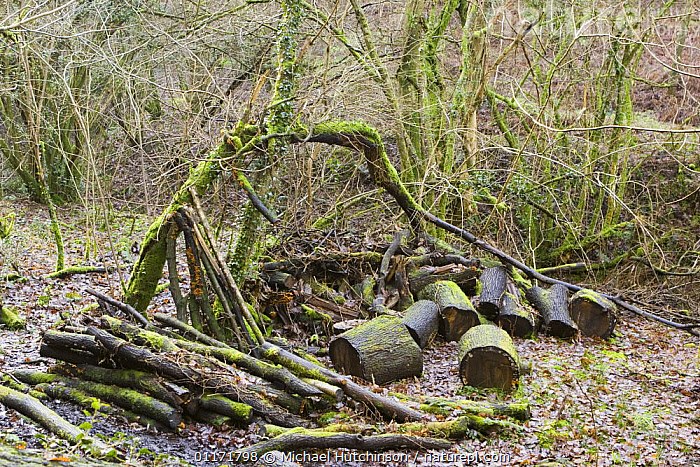 Wood pile, logs left to rot to encourage insects and fungi in woodland managed for wildlife, North Somerset, UK  ,  CONSERVATION,DECOMPOSITION,EUROPE,HABITAT,MANAGEMENT,MOSS,SOMERSET,TREES,UK,WOOD,WOODLANDS,United Kingdom,Plants,British,ENGLAND  ,  Michael Hutchinson