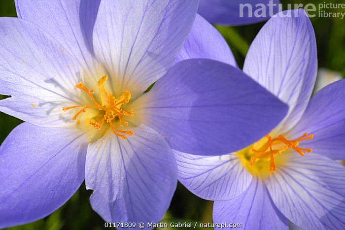 Autumn crocus {Crocus speciosus} flowers, Bavaria, Germany  ,  EUROPE,FLOWERS,GERMANY,IRIDACEAE,MONOCOTYLEDONS,PLANTS,PURPLE  ,  Martin Gabriel