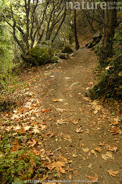 Hiking trail in the mountain forest, `Caledonian Trail` with fallen leaves of the Oriental Plane (Platanus orientalis) on the forest floor, Troodos Mountains, Cyprus  ,  EUROPE,LANDSCAPES,PATH,TRACKS,VERTICAL,WOODLANDS, Trodos  ,  Martin Gabriel