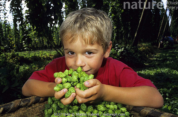 Young boy sniffing harvested Hop flowers (Humulus lupulus) Bavaria, Germany  ,  CHILDREN,CROPS,DICOTYLEDONS,EUROPE,GERMANY,HAPPY,MORACEAE,NATURE,PEOPLE,PLANTS  ,  Martin Gabriel