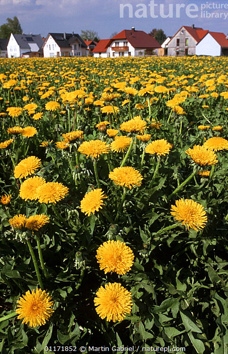 Dandelion flowers (Taraxacum officinale) growing on a fertilized meadow near houses, Bavaria, Germany  ,  ASTERACEAE,BUILDINGS,COMPOSITAE,DICOTYLEDONS,EUROPE,FARMLAND,FIELD,FLOWERS,GERMANY,LANDSCAPES,MEADOWLAND,PLANTS,VERTICAL,VILLAGES,Grassland  ,  Martin Gabriel