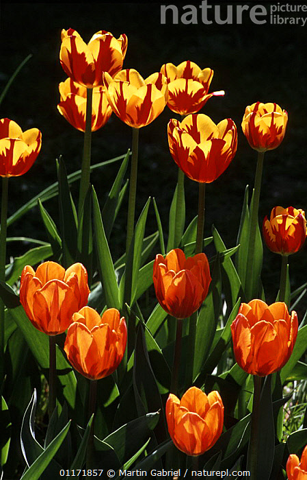 Tulips {Tulipa sp} in flower: cultivar PRINCESS IRENE (front) and HELMAR (back), Bavaria, Germany  ,  CULTIVATED,EUROPE,FLOWERS,GERMANY,LILIACEAE,MONOCOTYLEDONS,PLANTS,VERTICAL  ,  Martin Gabriel