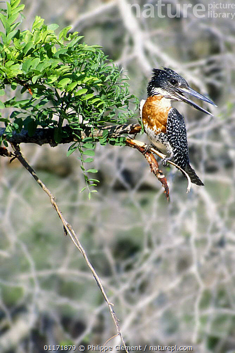 Male Giant Kingfisher {Megaceryle maxima} calling, Kruger NP, South Africa  ,  BIRDS, COMMUNICATION, KINGFISHERS, MALES, RESERVE, singing, SOUTH-AFRICA, TREES, VERTEBRATES, VERTICAL, VOCALISATION,PLANTS  ,  Philippe Clement