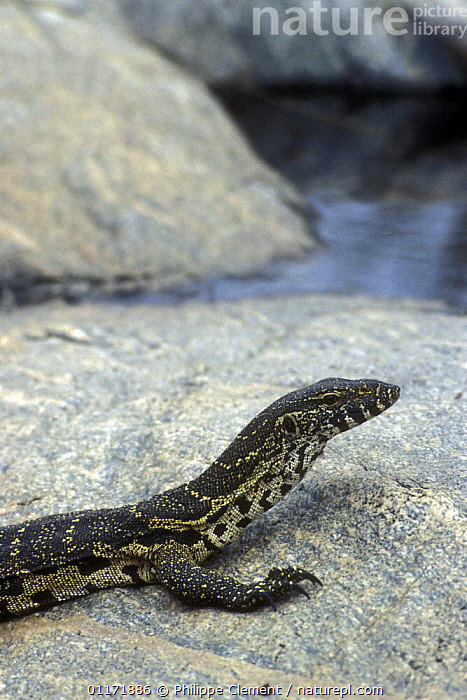 Nile monitor {Varanus niloticus} sitting on rock, Kruger NP, South Africa  ,  LIZARDS,MONITOR LIZARDS,MONITORS,PORTRAITS,REPTILES,RESERVE,SOUTH AFRICA,VERTEBRATES,VERTICAL, Monitors  ,  Philippe Clement