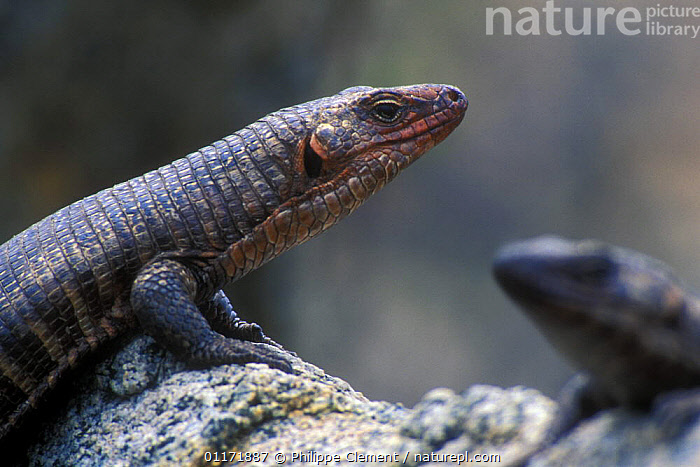 Close up of Giant Plated Lizard (Gerrhosaurus validus) sunning on rock, Kruger NP, South Africa  ,  LIZARDS,PLATED LIZARDS,PORTRAITS,PROFILE,REPTILES,RESERVE,RESTING,SOUTH AFRICA,TWO,VERTEBRATES  ,  Philippe Clement