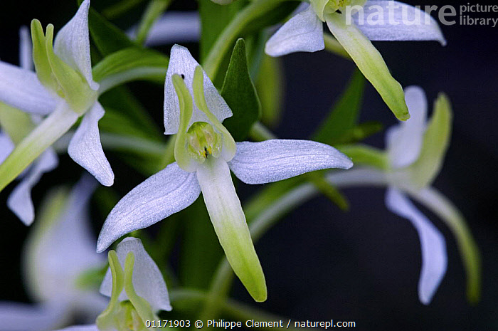 Close up of Lesser Butterfly Orchid flower {Platanthera bifolia}, France  ,  EUROPE,FLOWERS,MONOCOTYLEDONS,ORCHIDACEAE,ORCHIDS,PLANTS  ,  Philippe Clement