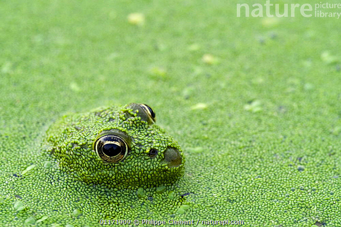 Young Edible frog (Rana esculenta) amongst Duckweed (Lemnaceae), La Brenne, France  ,  AMPHIBIANS, AQUATIC, CAMOUFLAGE, FACES, FRANCE, GREEN, PLANTS, Anura, EUROPE, EYES, FRESHWATER, FROGS, HUMOROUS, LEMNACEAE, VERTEBRATES,Concepts  ,  Philippe Clement