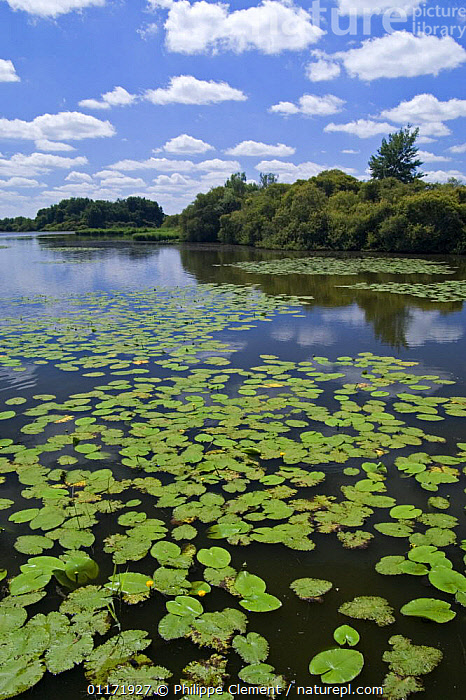 Yellow Water Lily pads {Nuphar lutea} on lake, La Brenne, France  ,  AQUATIC,CLOUDS,DICOTYLEDONS,EUROPE,FRANCE,FRESHWATER,LAKES,LANDSCAPES,LOTUS,NYMPHAEACEAE,PLANTS,VERTICAL,WATER,WATER LILIES,WETLANDS,Weather  ,  Philippe Clement