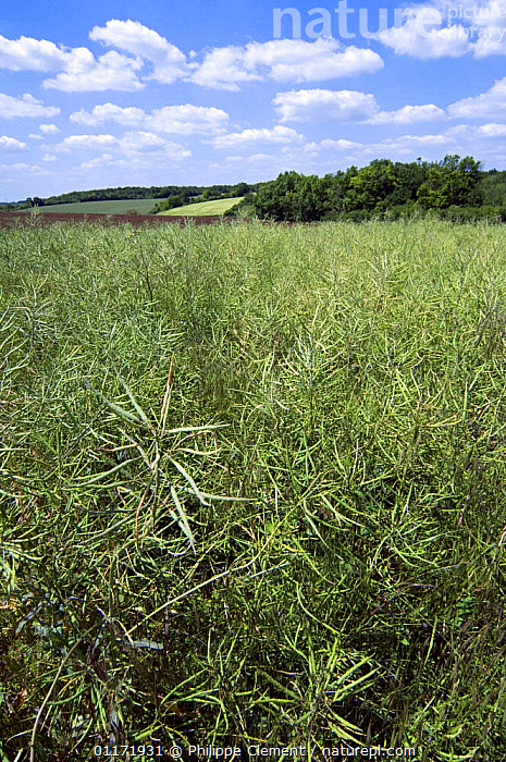 Large field of Oil seed rape {Brassica napus}, La Brenne, France  ,  AGRICULTURE,BRASSICA,BRASSICACEAE,COUNTRYSIDE,CROPS,DICOTYLEDONS,EUROPE,FARMLAND,FIELDS,LANDSCAPES,PLANTS,VERTICAL  ,  Philippe Clement