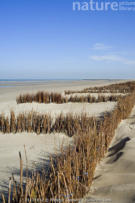 Beach and dunes with man-made Osier {Salix viminalis} hedges planted to stabilise the sand, North Sea, Belgium  ,  BEACHES,COASTS,CONSERVATION,CULTIVATED,ENVIRONMENTAL,EUROPE,GRASSES,LANDSCAPES,SAND DUNES,VERTICAL,Deserts  ,  Philippe Clement