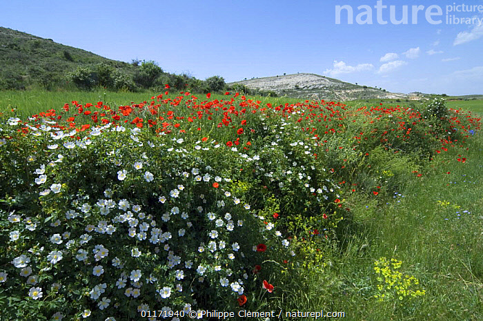 Short Styled Field Rose {Rosa stylosa} and Common Poppies in flower {Papaver rhoeas} bordering field, Spain  ,  DICOTYLEDONS,EUROPE,FARMLAND,FLOWERS,LANDSCAPES,PAPAVERACEAE,PLANTS,ROSACEAE,SPAIN,SUMMER  ,  Philippe Clement