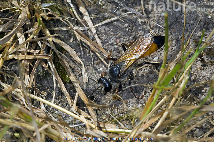Female Sand / Digger Wasp (Sphex rufocinctus) in undergrowth, La Brenne, France  ,  EUROPE,HABITAT,HUNTING WASPS,HYMENOPTERA,INSECTS,INVERTEBRATES,SPECIDAE,WASPS  ,  Philippe Clement