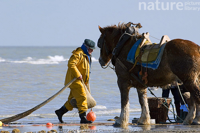 Shrimper with Draught Horse {Equus caballus} bringing catch ashore, North Sea, Belgium  ,  BEACHES,COASTS,EUROPE,FISHING,HORSES,INDUSTRY,LIVESTOCK,MAN,MARINE,PEOPLE,SHRIMPS,TRADITIONAL,WORKING  ,  Philippe Clement