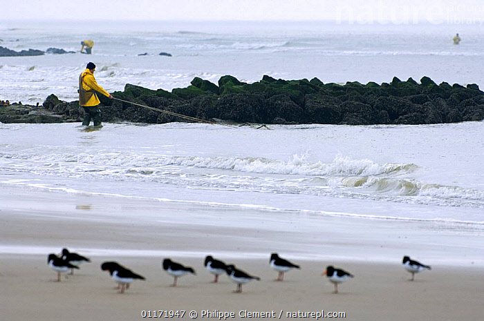 Shrimper dragging net ashore while fishing for shrimp in the North Sea, Belgium, Oystercatchers in foresground  ,  BEACHES,COASTS,EUROPE,FISHING,INDUSTRY,MAN,MARINE,PEOPLE,SEABIRDS,SHRIMPS,WORKING  ,  Philippe Clement