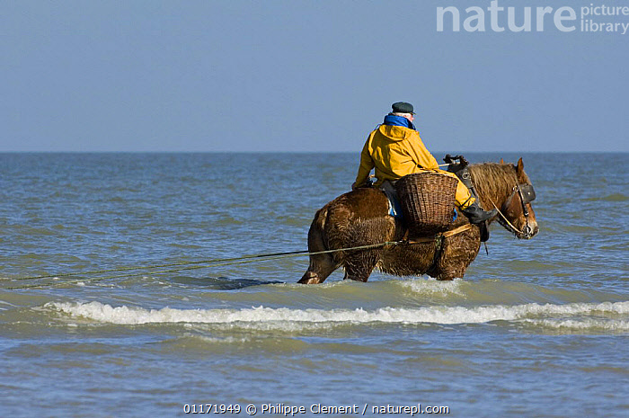 Shrimper with Draught Horse {Equus caballus} dragging net in the sea along the North Sea coast, Belgium  ,  BEACHES,COASTS,EUROPE,FISHING,HORSES,INDUSTRY,LIVESTOCK,MAN,MARINE,PEOPLE,SHRIMPS,TRADITIONAL,WORKING  ,  Philippe Clement
