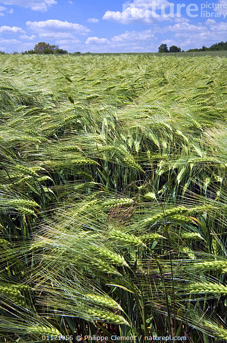 Barley {Hordeum vulgare} ripening in field, France  ,  AGRICULTURE,CEREALS,EUROPE,FIELDS,GRAINS,GRAMINEAE,GRASSES,LANDSCAPES,MONOCOTYLEDONS,PLANTS,POACEAE,VERTICAL  ,  Philippe Clement