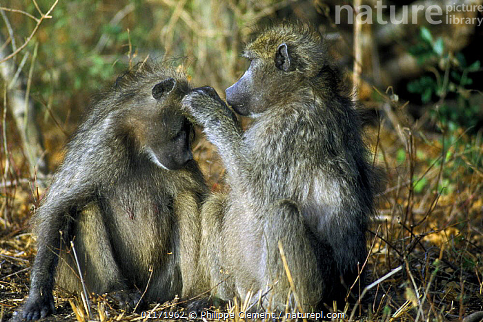 Chacma baboons {Papio ursinus} grooming, Kruger NP, South Africa  ,  BABOONS,BEHAVIOUR,GROOMING,INTERACTION,MAMMALS,MONKEYS,PRIMATES,SOUTH AFRICA,SOUTHERN AFRICA,VERTEBRATES  ,  Philippe Clement