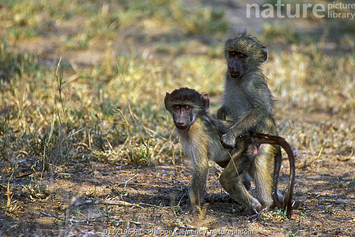 Two juvenile Chacma baboons {Papio ursinus} playing, Kruger NP, South Africa  ,  BABOON,BABOONS,JUVENILE,MAMMALS,MONKEYS,PRIMATES,SOUTH AFRICA,SOUTHERN AFRICA,VERTEBRATES  ,  Philippe Clement