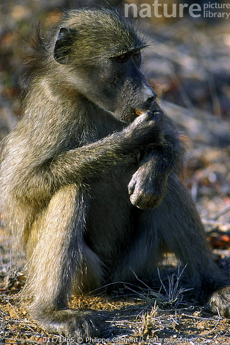 Chacma baboon {Papio ursinus} eating fruit, Kruger NP, South Africa  ,  BABOONS,FEEDING,MAMMALS,MONKEYS,PRIMATES,SOUTH AFRICA,SOUTHERN AFRICA,VERTEBRATES,VERTICAL  ,  Philippe Clement