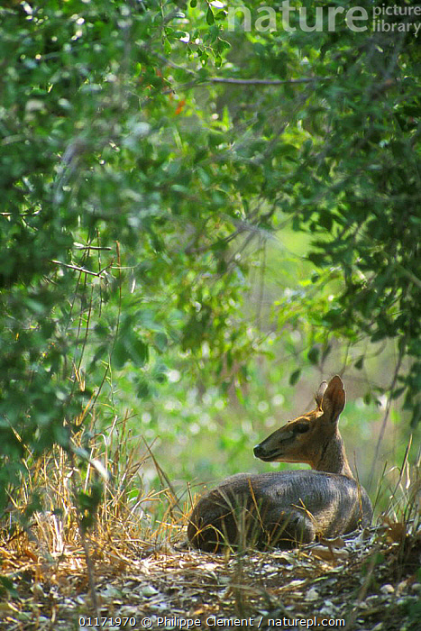 Common duiker {Sylvicapra grimmia} resting in dense vegetation, Kruger NP, South Africa  ,  ARTIODACTYLA,BOVIDS,DUIKERS,MAMMALS,SOUTH AFRICA,SOUTHERN AFRICA,VERTEBRATES,VERTICAL  ,  Philippe Clement