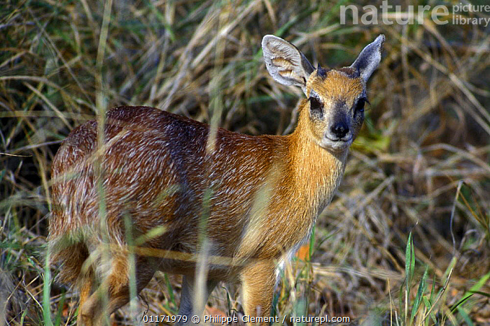 Sharpe's grysbok {Raphicerus sharpei} in dense vegetation, Kruger NP South Africa  ,  ARTIODACTYLA,BOVIDS,MAMMALS,PORTRAITS,SOUTH AFRICA,SOUTHERN AFRICA,STEENBOKS,VERTEBRATES  ,  Philippe Clement
