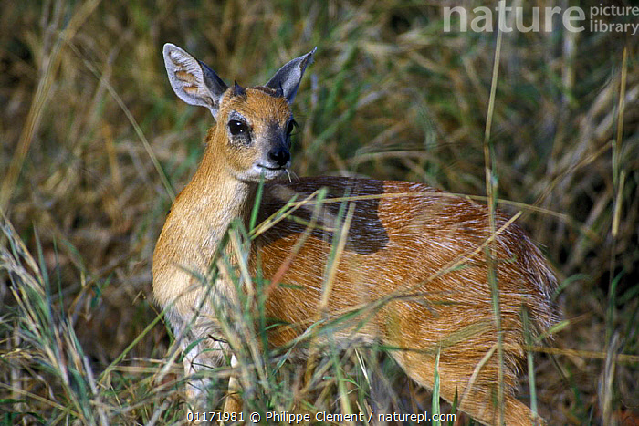 Sharpe's grysbok {Raphicerus sharpei} in long grass, Kruger NP, South Africa  ,  ARTIODACTYLA,BOVIDS,MAMMALS,SOUTH AFRICA,SOUTHERN AFRICA,STEENBOKS,VERTEBRATES  ,  Philippe Clement