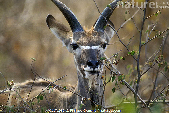 Greater kudu {Tragelaphus strepsiceros} young male browsing, Kruger NP, South Africa  ,  ANTELOPES,ARTIODACTYLA,BOVIDS,FEEDING,JUVENILE,MAMMALS,SOUTH AFRICA,SOUTHERN AFRICA,VERTEBRATES  ,  Philippe Clement
