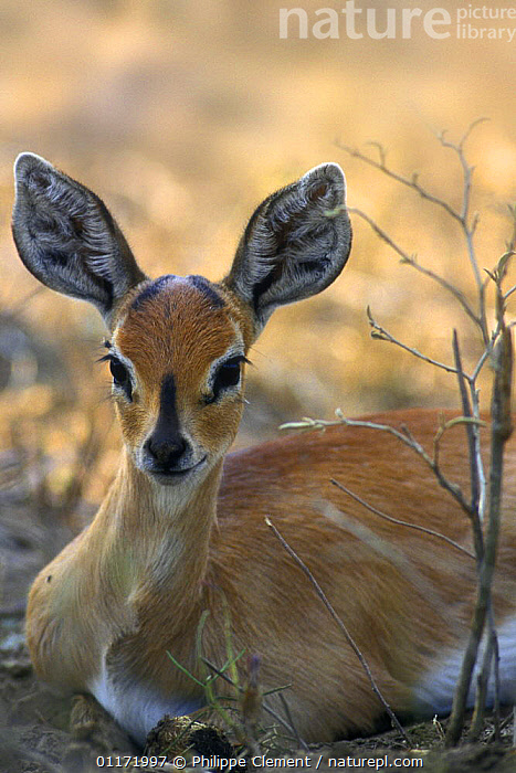 Steenbok {Raphicerus campestris} resting, Kruger NP, South Africa  ,  ARTIODACTYLA,BOVIDS,EARS,MAMMALS,SOUTH AFRICA,SOUTHERN AFRICA,STEENBOKS,VERTEBRATES  ,  Philippe Clement
