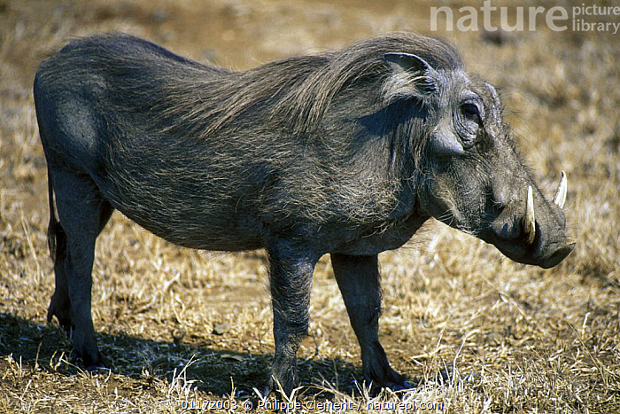Warthog {Phacochoerus aethiopicus}, Kruger NP, South Africa  ,  ARTIODACTYLA,HOGS,MAMMALS,PORTRAITS,PROFILE,SOUTH AFRICA,SOUTHERN AFRICA,SUIDS,VERTEBRATES  ,  Philippe Clement