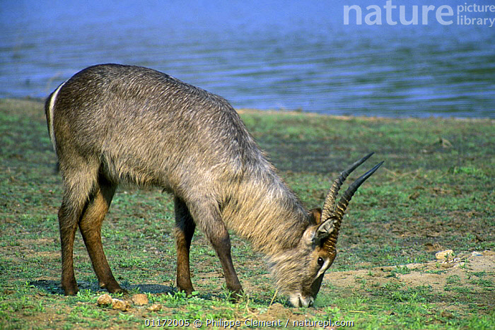 Waterbuck {Kobus ellipsiprymnus} grazing near the water, Kruger NP, South Africa  ,  ARTIODACTYLA,BOVIDS,FEEDING,MAMMALS,SOUTH AFRICA,SOUTHERN AFRICA,VERTEBRATES,WATERBUCKS,Antelopes  ,  Philippe Clement