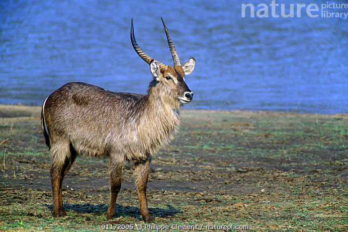 Waterbuck {Kobus ellipsiprymnus} near the water, Kruger NP, South Africa  ,  ARTIODACTYLA,BOVIDS,MAMMALS,SOUTH AFRICA,SOUTHERN AFRICA,VERTEBRATES,WATERBUCKS,Antelopes  ,  Philippe Clement