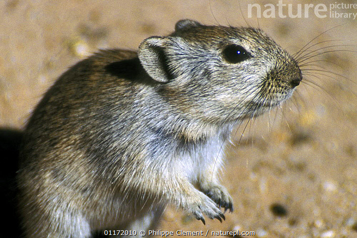 Brant's whistling rat (Parotomys brantsii) in the Kalahari desert, Kgalagadi TP, South Africa  ,  MAMMALS,PORTRAITS,RATS,RODENTS,SOUTH AFRICA,SOUTHERN AFRICA,VERTEBRATES,Muridae  ,  Philippe Clement
