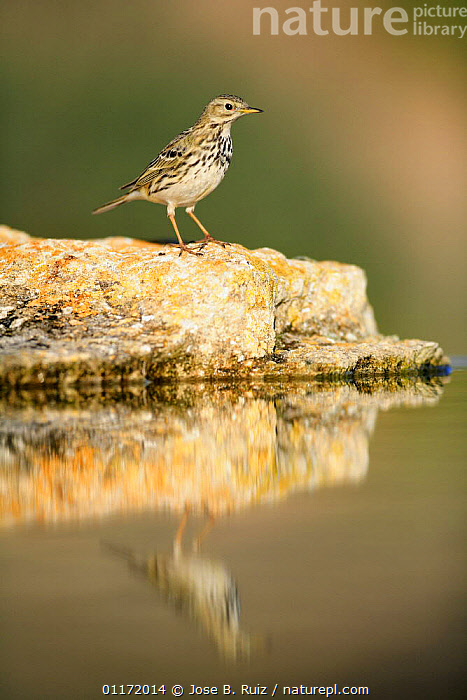Meadow pipit {Anthus pratensis} on rock with reflection, Spain  ,  BIRDS,EUROPE,PIPITS,REFLECTIONS,SPAIN,VERTEBRATES,VERTICAL  ,  Jose B. Ruiz