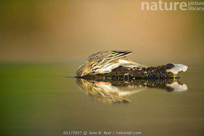 Meadow pipit {Anthus pratensis} dipping head in water, Spain  ,  BEHAVIOUR,BIRDS,DRINKING,EUROPE,PIPITS,REFLECTIONS,SPAIN,VERTEBRATES,WATER  ,  Jose B. Ruiz
