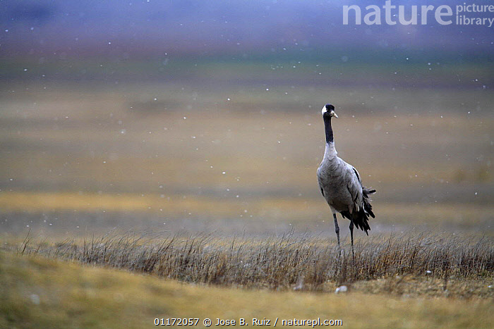 Common crane {Grus grus} Laguna de Gallocanta, Teruel, Arag�n, Spain  ,  BIRDS,CRANES,EUROPE,SNOWING,SPAIN,VERTEBRATES,WEATHER  ,  Jose B. Ruiz