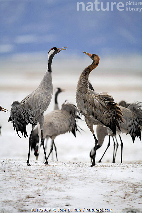 Common crane {Grus grus} and juvenile displaying, Laguna de Gallocanta, Teruel, Arag�n, Spain  ,  BIRDS,CRANES,EUROPE,MALE FEMALE PAIR,SNOW,SPAIN,VERTEBRATES,VERTICAL  ,  Jose B. Ruiz