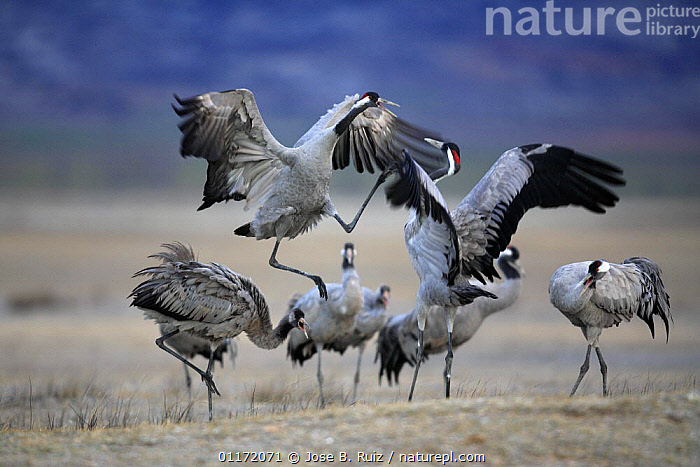Common cranes {Grus grus} jumping in air and displaying, Laguna de Gallocanta, Teruel, Arag�n, Spain  ,  ACTION,AGGRESSION,BEHAVIOUR,BIRDS,COMPETITION,CRANES,DISPLAY,EUROPE,FIGHTING,SPAIN,VERTEBRATES,Concepts,Communication  ,  Jose B. Ruiz