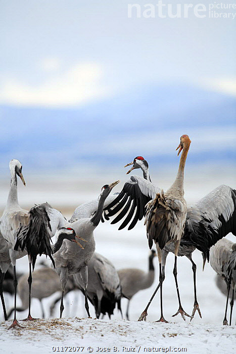 Common cranes {Grus grus} displaying aggression, Laguna de Gallocanta, Teruel, Arag�n, Spain  ,  BEHAVIOUR,BIRDS,CRANES,DISPLAY,EUROPE,INTERACTION,SPAIN,VERTEBRATES,VERTICAL,Communication  ,  Jose B. Ruiz