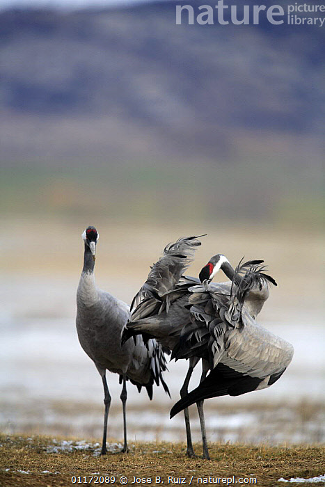 Common crane {Grus grus} preening feathers, Laguna de Gallocanta, Teruel, Arag�n, Spain  ,  BEHAVIOUR,BIRDS,CRANES,EUROPE,GROOMING,SPAIN,VERTEBRATES,VERTICAL  ,  Jose B. Ruiz