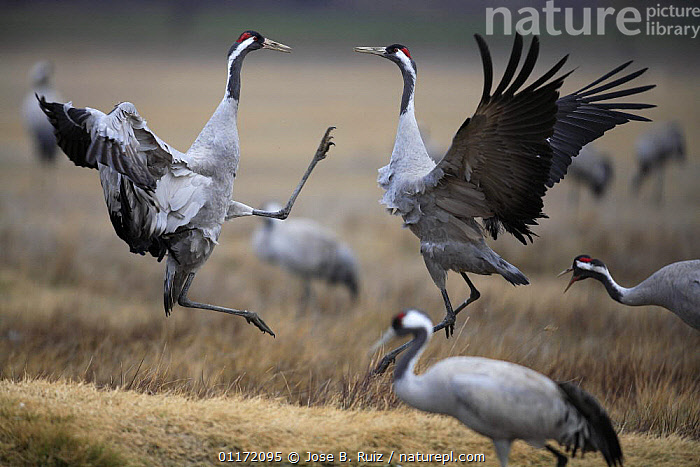 Common crane {Grus grus} jumping and fighting, Laguna de Gallocanta, Teruel, Arag�n, Spain  ,  AGGRESSION,BIRDS,COMPETITION,CRANES,EUROPE,FIGHTING,JUMPING,PROFILE,SPAIN,VERTEBRATES,Concepts,Catalogue1  ,  Jose B. Ruiz