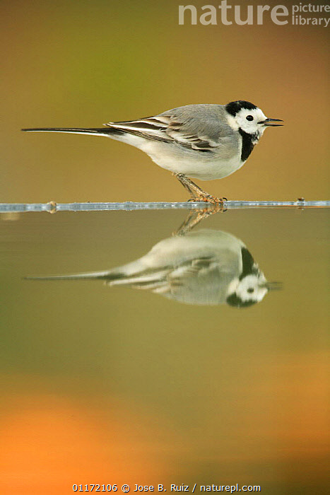 Male White wagtail {Motacilla alba alba} calling at waters edge with reflection, Spain  ,  BIRDS,EUROPE,PROFILE,REFLECTIONS,SPAIN,VERTEBRATES,VOCALISATION,WAGTAILS  ,  Jose B. Ruiz