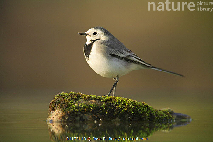 Female White wagtail {Motacilla alba alba}  on rock, Spain  ,  BIRDS,EUROPE,PROFILE,SPAIN,VERTEBRATES,WAGTAILS  ,  Jose B. Ruiz