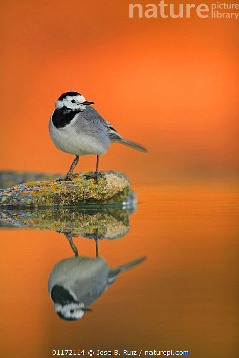 Male White wagtail {Motacilla alba alba} on rock with reflection, Spain  ,  BIRDS,EUROPE,ORANGE,SPAIN,VERTEBRATES,VERTICAL,WAGTAILS,WATER  ,  Jose B. Ruiz