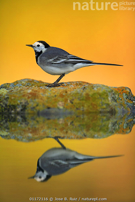 Male White wagtail {Motacilla alba alba}  profile on rock with reflection, Spain  ,  BIRDS,EUROPE,PROFILE,SPAIN,VERTEBRATES,VERTICAL,WAGTAILS,WATER,YELLOW  ,  Jose B. Ruiz