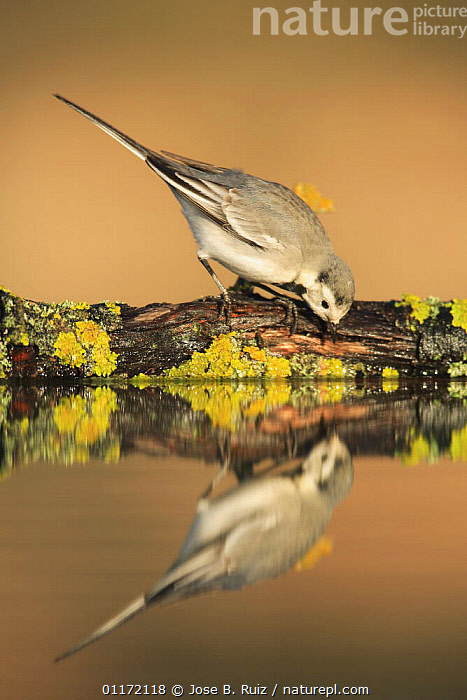 Female White wagtail {Motacilla alba alba}  leaning down to drink at waters edge, Spain  ,  BIRDS,DRINKING,EUROPE,REFLECTIONS,SPAIN,VERTEBRATES,VERTICAL,WAGTAILS,WATER  ,  Jose B. Ruiz