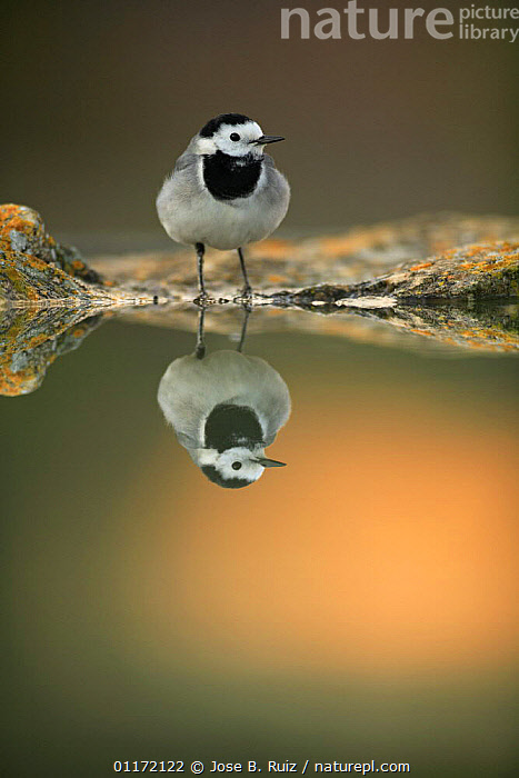 Male White wagtail {Motacilla alba alba} at waters edge with reflection, Spain  ,  BIRDS,EUROPE,SPAIN,VERTEBRATES,VERTICAL,WAGTAILS,WATER,Catalogue1  ,  Jose B. Ruiz