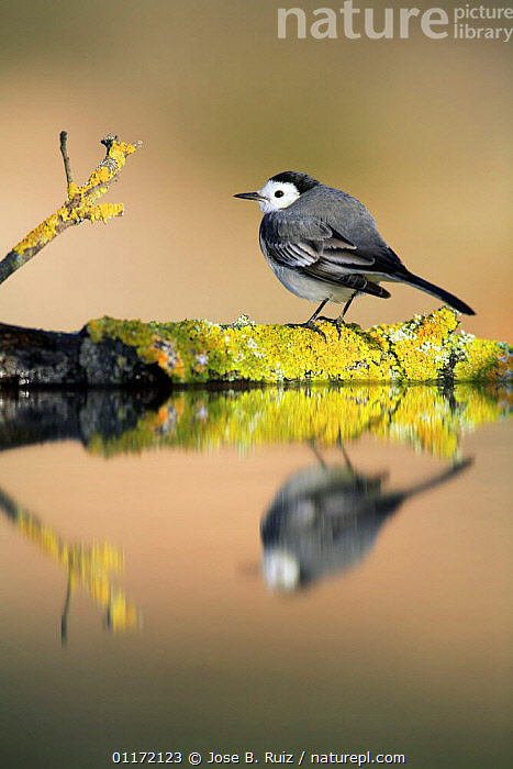 Male White wagtail {Motacilla alba alba}  on rock with reflection, Spain  ,  BIRDS,EUROPE,PROFILE,REFLECTIONS,SPAIN,VERTEBRATES,VERTICAL,WAGTAILS,WATER  ,  Jose B. Ruiz